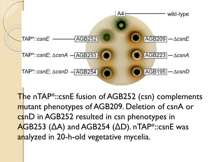 The nTAP*::csnE fusion of AGB252 (csn) complements mutant phenotypes of AGB209. Deletion of csnA or csnD in AGB252 resulted in csn phenotypes in AGB253 (