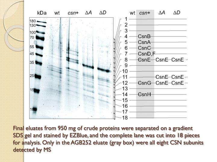 Final eluates from 950 mg of crude proteins were separated on a gradient SDS gel and stained by EZBlue, and the complete lane was cut into 18 pieces for analysis. Only in the AGB252 eluate (gray box) were all eight CSN subunits detected by MS