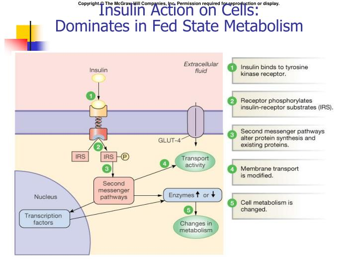 Insulin Action on Cells: