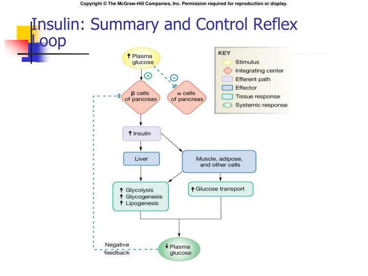 Insulin: Summary and Control Reflex Loop
