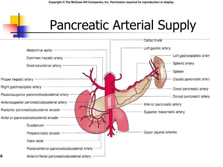 Pancreatic Arterial Supply