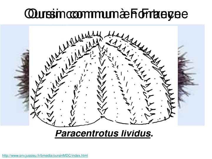 Oursin commun à Fontreyne