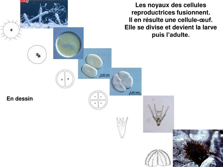Les noyaux des cellules reproductrices fusionnent.