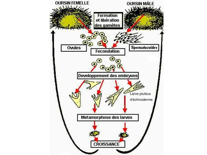 Larve plutéus d'échinoderme