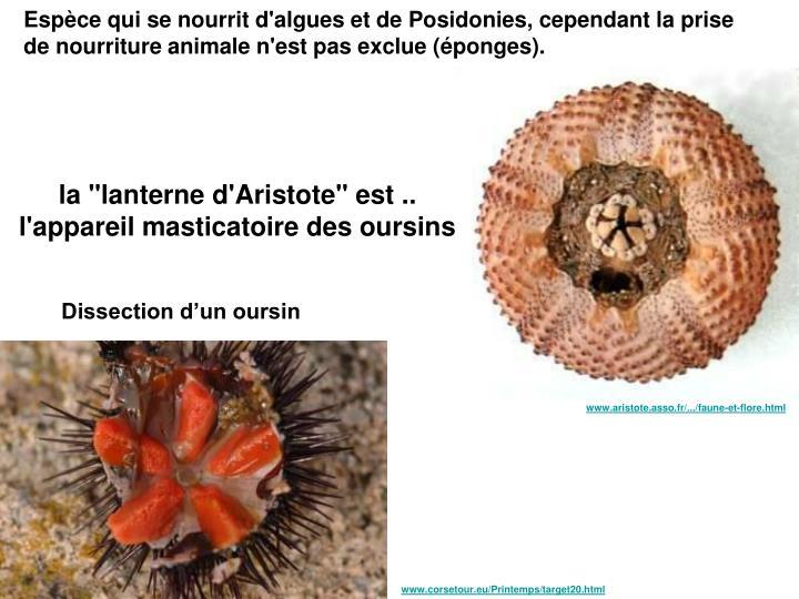 Espèce qui se nourrit d'algues et de Posidonies, cependant la prise de nourriture animale n'est pas exclue (éponges).
