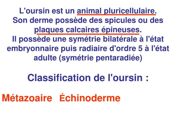 L'oursin est un animal pluricellulaire.
