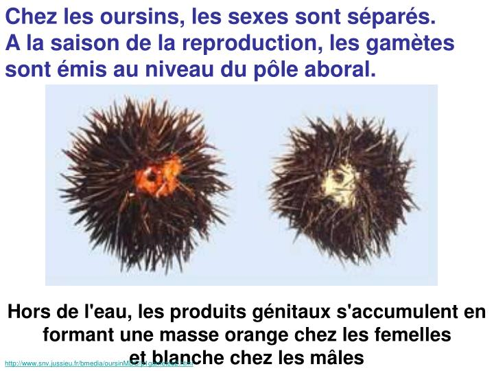 Chez les oursins, les sexes sont séparés.