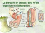 la bordure en brosse 600 m 2 de digestion et d absorption