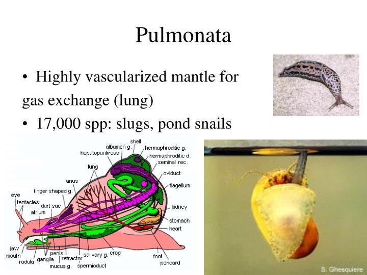 Pulmonata