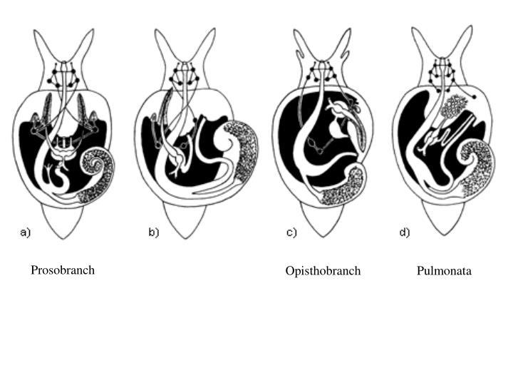 Prosobranch