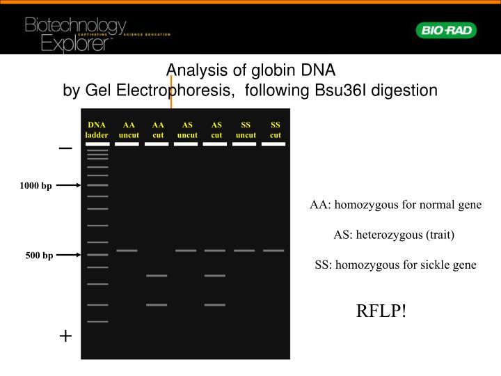 Analysis of globin DNA