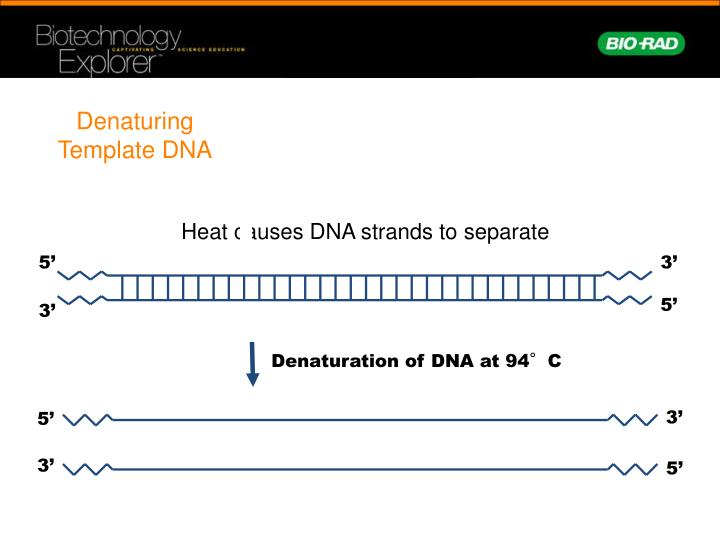 Denaturing Template DNA