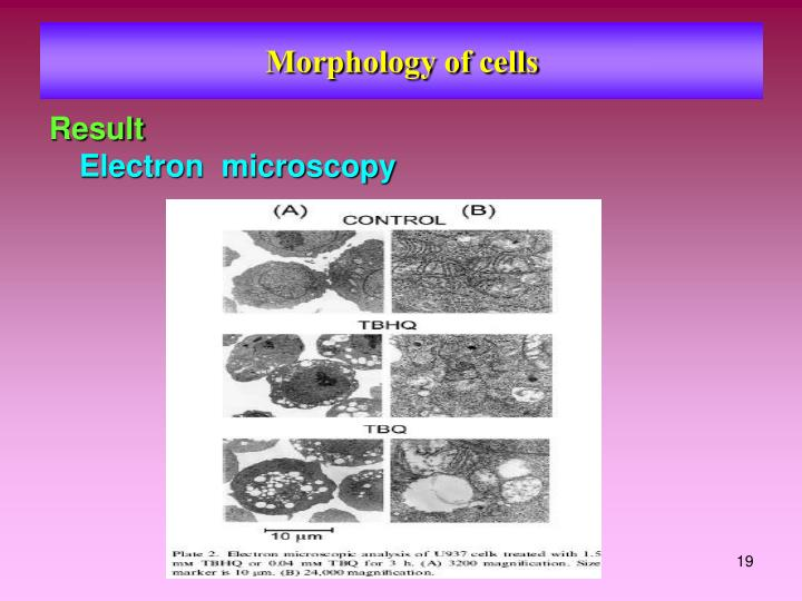 Morphology of cells