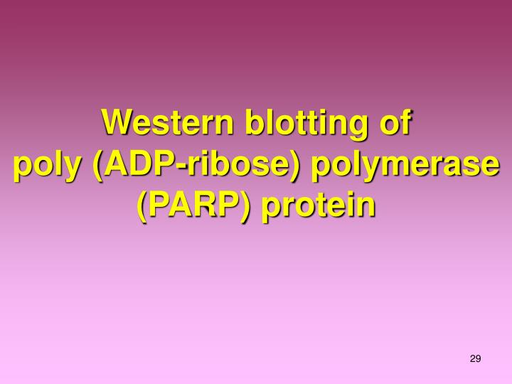 Western blotting of