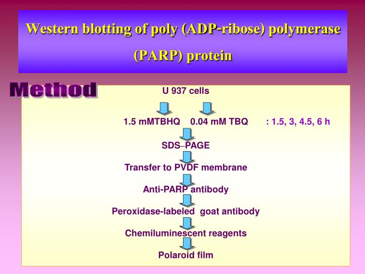 Western blotting of poly (ADP-ribose) polymerase (PARP) protein