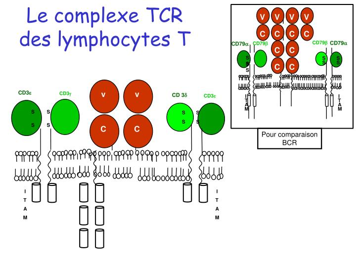 Le complexe TCR des lymphocytes T