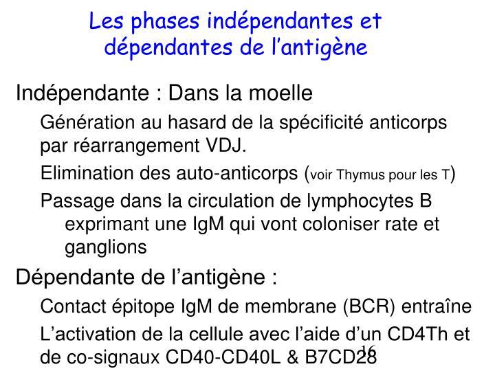 Les phases indépendantes et dépendantes de l'antigène