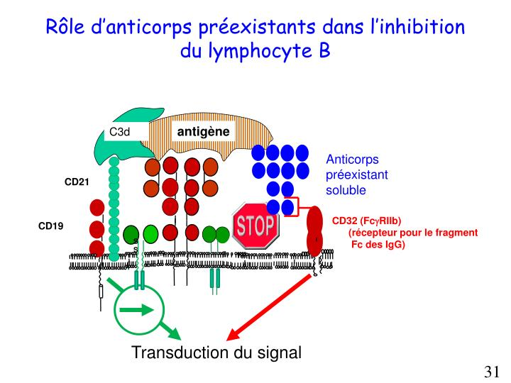 Rôle d'anticorps préexistants dans l'inhibition du lymphocyte B