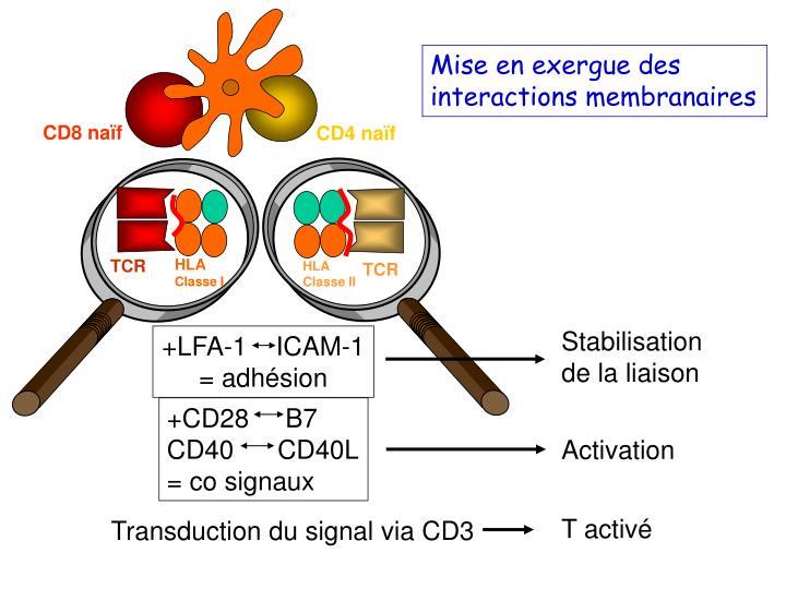 Mise en exergue des interactions membranaires