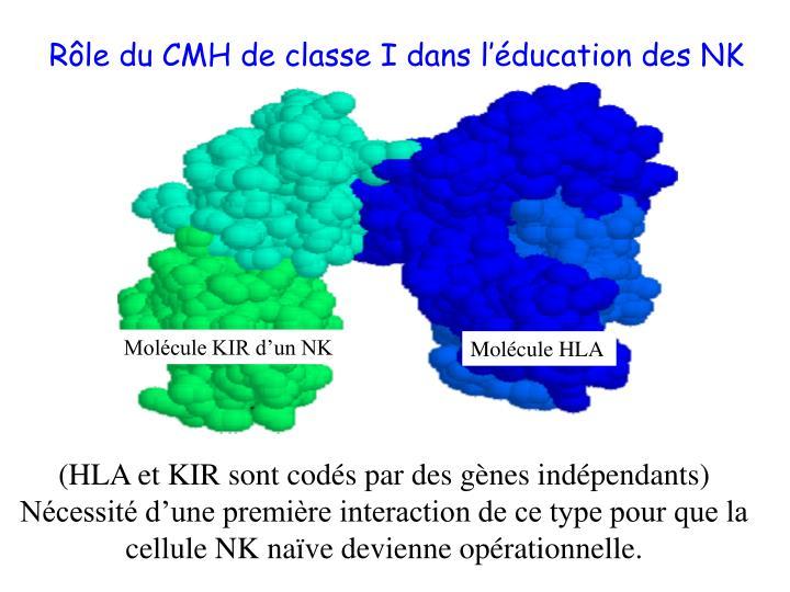 Molécule KIR d'un NK