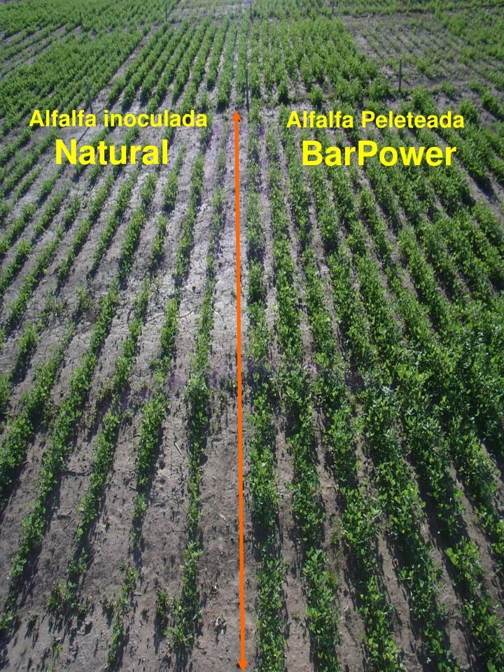Alfalfa Peleteada