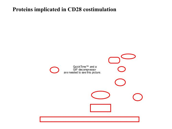 Proteins implicated in CD28 costimulation