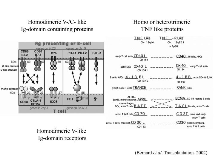 Homodimeric V-/C- like