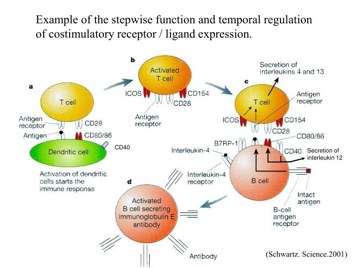 Example of the stepwise function and temporal regulation of costimulatory receptor / ligand expression.