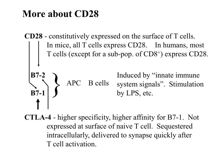 More about CD28