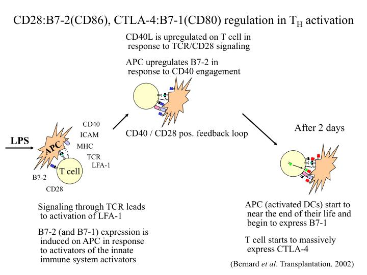 CD28:B7-2(CD86), CTLA-4:B7-1(CD80) regulation in T