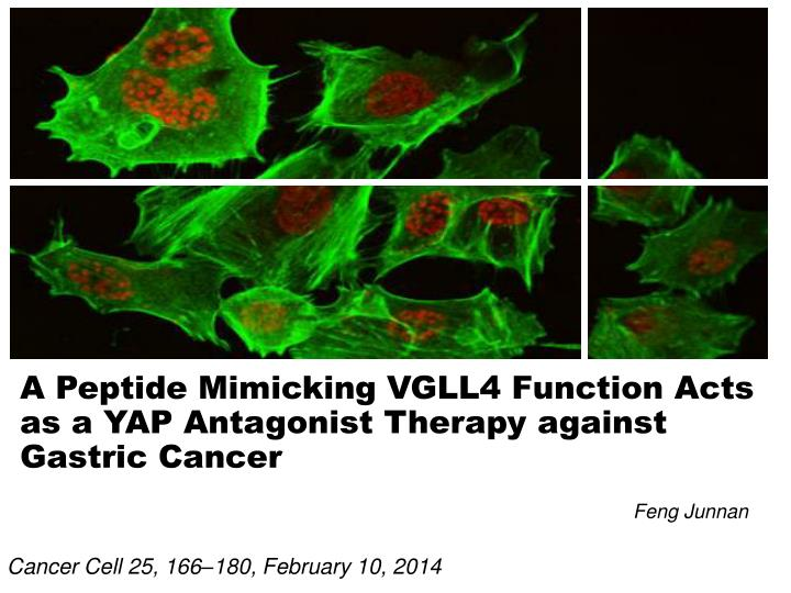 A peptide mimicking vgll4 function acts as a yap antagonist therapy against gastric cancer