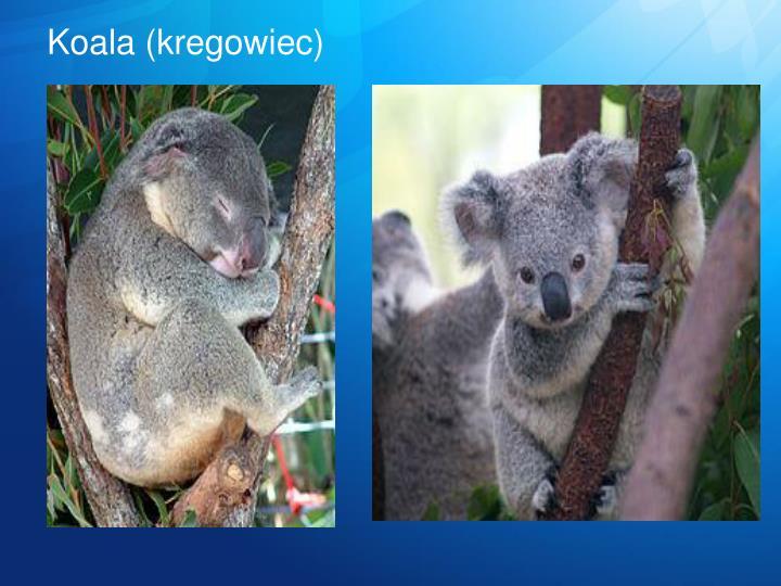Koala (kregowiec)