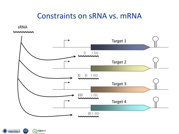 Constraints on sRNA vs. mRNA