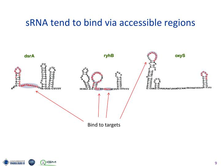 sRNA tend to bind via accessible regions
