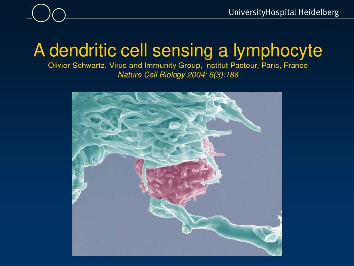 A dendritic cell sensing a lymphocyte