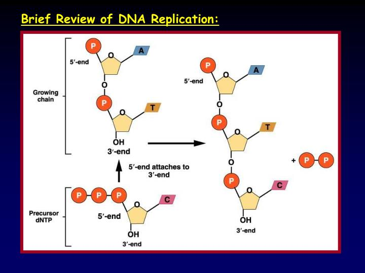 Brief Review of DNA Replication: