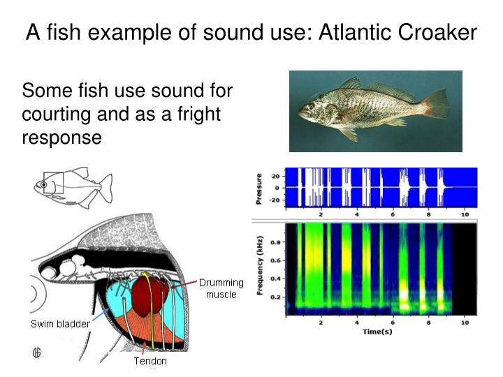 A fish example of sound use: Atlantic Croaker