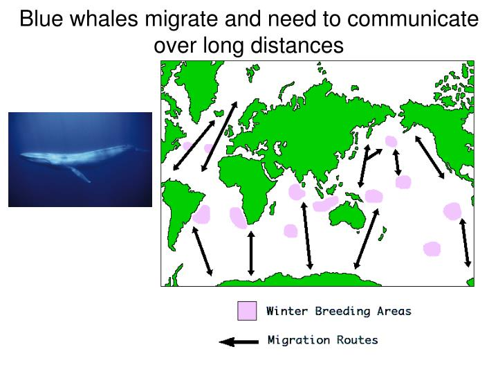 Blue whales migrate and need to communicate over long distances