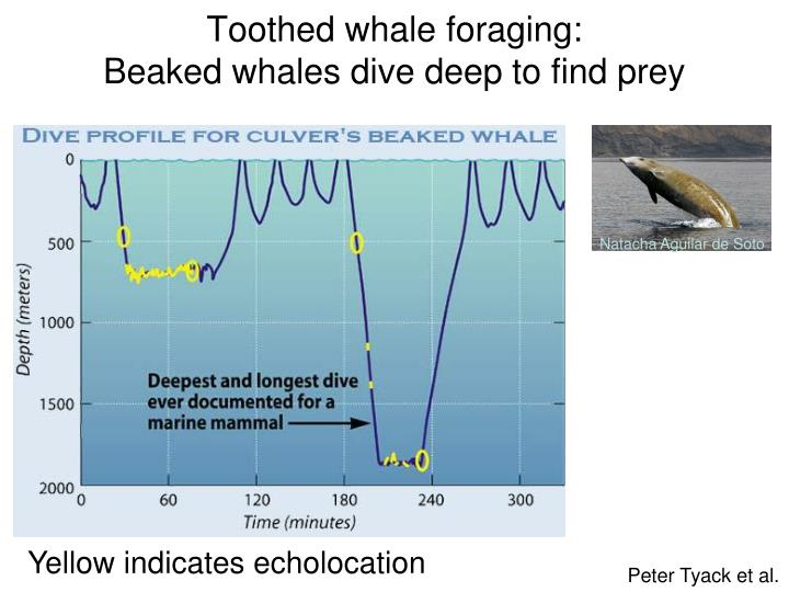 Toothed whale foraging: