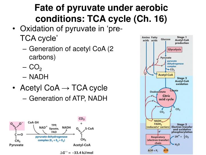 Fate of pyruvate under aerobic conditions: TCA cycle (Ch. 16)