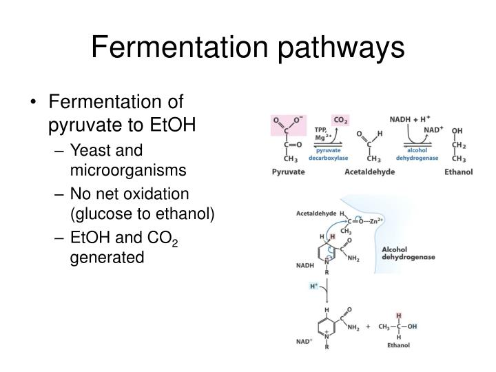 Fermentation pathways