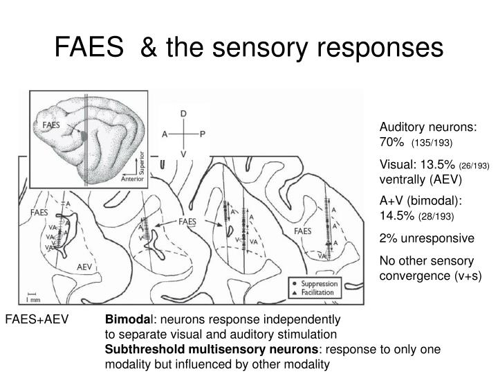 FAES  & the sensory responses