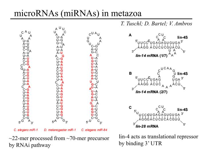 microRNAs (miRNAs) in metazoa
