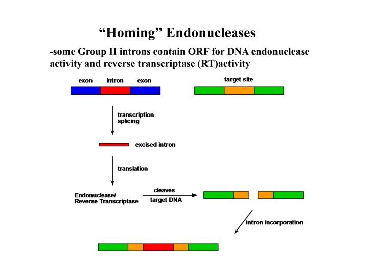 """Homing"" Endonucleases"