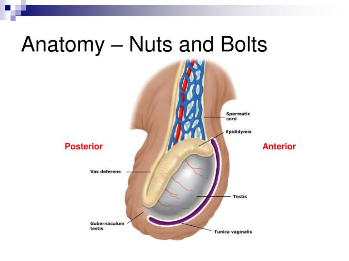 anatomy-nuts-and-bolts-n, Cephalic Vein