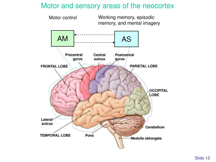 Motor and sensory areas of the neocortex