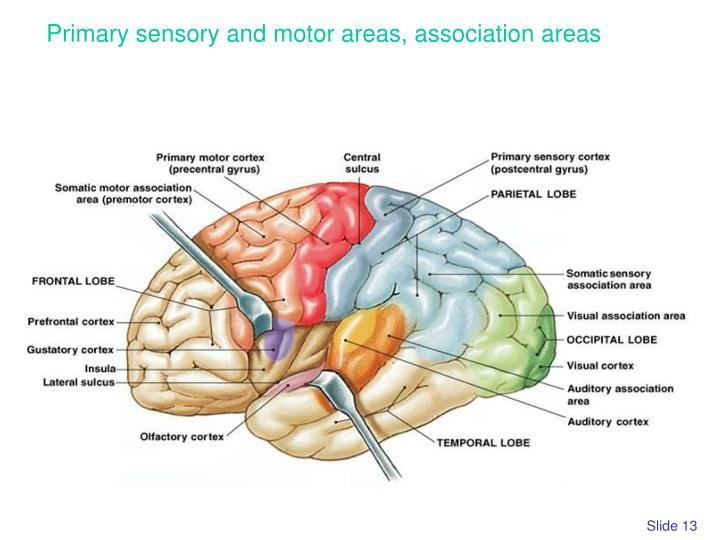 Primary sensory and motor areas, association areas