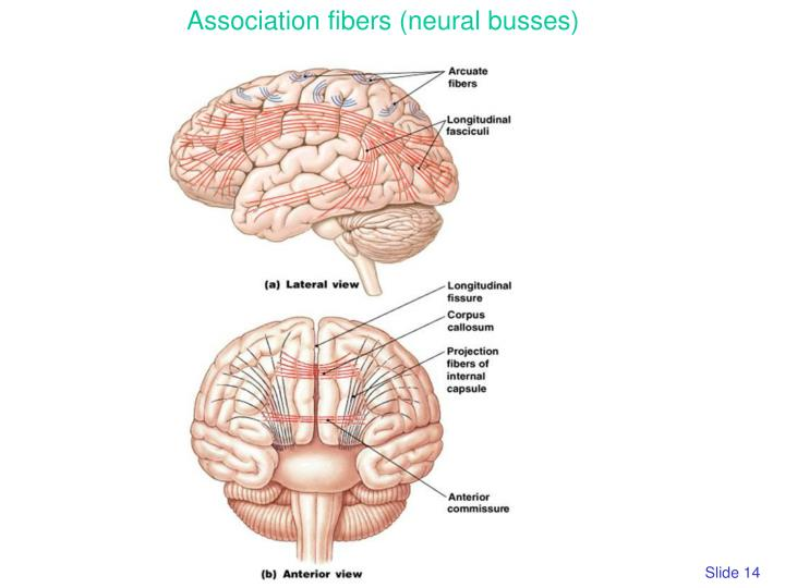 Association fibers (neural busses)