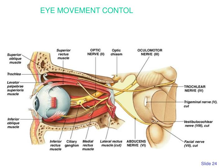 EYE MOVEMENT CONTOL