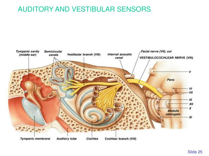 AUDITORY AND VESTIBULAR SENSORS